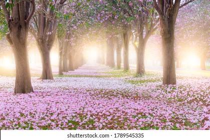 El árbol de trompeta rosa y las flores florecen y caen en el túnel del jardín en la mañana con luz solar.