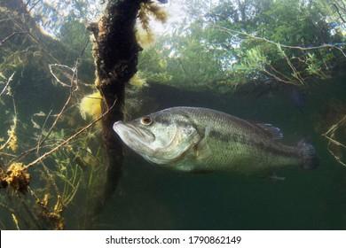 オオクチバス(Micropterussalmoides)の自然光の水中写真。湖に住んでいます。ブラックバス。魚の写真を閉じます。
