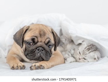 Pug puppy and tiny kitten sleep together under a blanket on a bed at home