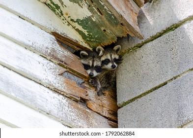 Niedliche Baby-Waschbären klettern aus dem Loch im alten Gebäude
