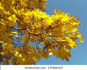 Ein Ahornzweig mit gelbem Herbstlaub gegen einen blauen Himmel. Acer platanoides.