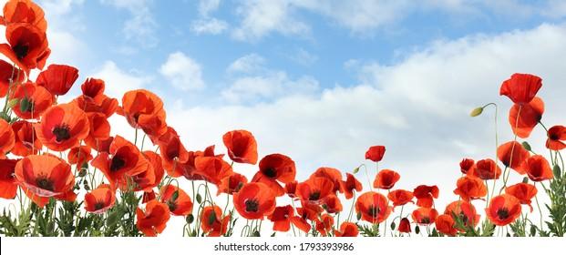 雲、バナーデザインの青い空の下で美しい赤いポピーの花