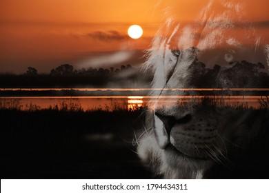 Wunderschöner Sonnenaufgang im Feuchtgebiet mit Löwensilhouette-Porträt