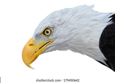 白い背景で隔離の白頭ワシ