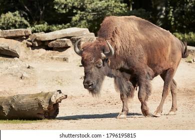 動物園でアメリカバイソンのクローズアップ