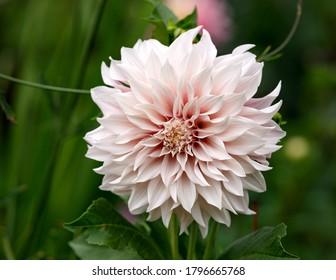 Dahlia Cafe au Lait planta de flor que crece en el jardín de la cabaña de verano