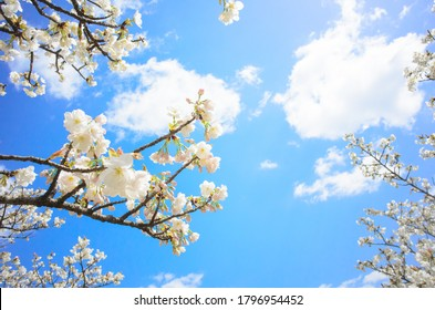 White cherry blossoms with blue sky background