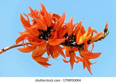 Teca bastarda, Kino de Bengala, Árbol de Kino, Llama del bosque, Butea monosperma (Lam.) Taub. Flor de naranja roja que florece en el jardín