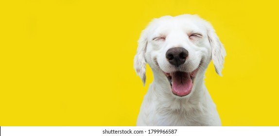 Happy puppy dog smiling on isolated yellow background.