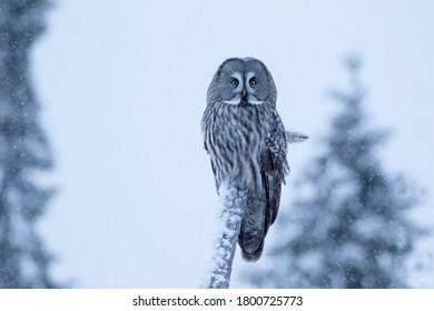Magnífico cazador de los bosques de taiga, gran búho gris, Strix nebulosa descansando sobre un árbol en la fría noche de invierno en la naturaleza finlandesa, norte de Europa