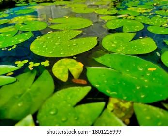 Draufsicht von Seerosenblättern auf Wasseroberfläche in einem See oder Sumpf. Nymphaeaceae ist eine Familie von Seerosen
