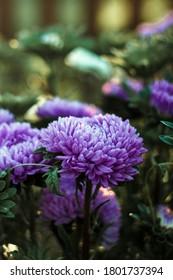 Schöne Asterblumen lila in der Farbe, auf deren Blättern warme Sonnenstrahlen fallen