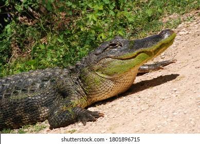 Amerikanischer Alligator Nahaufnahme Kopf und Füße Grüne Wildtiere in natürlichem Lebensraum auf Sand mit Pflanzenhintergrund Große Raubtiere Wildtiere Sumpfkreatur im Naturpark Erhaltung Gefährliche Klauenschuppen