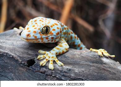 Geckos sind unter Eidechsen in ihren Vokalisationen einzigartig und machen in sozialen Interaktionen mit anderen Geckos zwitschernde Geräusche