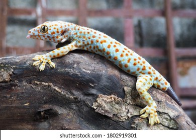 Schließen Sie oben von Gecko oder tropischen asiatischen Geckos auf den drei oder Wand des Hauses, schöner Hautgecko in Indonesien