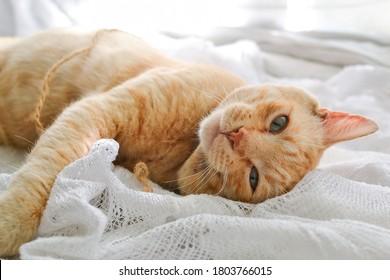 Gato rojo claro sobre una manta blanca, luz de la ventana. Un lindo gato pelirrojo yace debajo de una manta blanca en el alféizar de la ventana, en la cama.