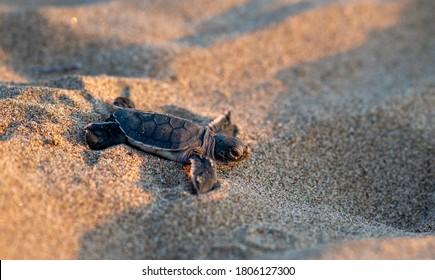 Eine gerade geschlüpfte Babyschildkröte, die sich am Lara Beach in Zypern in Richtung Meer bewegt