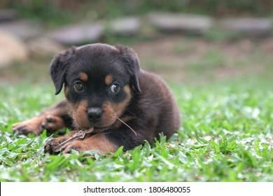 ロットワイラーの子犬の犬が乾燥した葉を噛んで草の上に座る