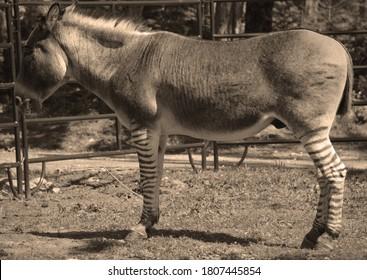 ゼブロイドは、ハイブリッドを作成するためのシマウマと他の馬との間の交配の子孫です。