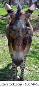 ゼブロイドのクローズアップは、ハイブリッドを作成するためのシマウマと他の馬の間のクロスの子孫です