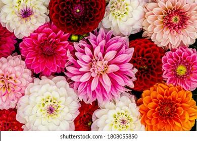 Flores de Dalia blanco rojo con gotas de lluvia, fondo de pantalla de vista superior. Flores de dalia de colores, telón de fondo de pantalla. Florecimiento de las dalias
