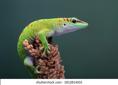 Male Day Gecko aus Madagaskar sind territorial. Er wird andere Männer angreifen, wenn er sein Territorium betritt. Nur weibliche Geckos dürfen das Gebiet betreten.