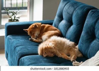 柴犬の飼い犬と青いソファで優しく眠る赤い猫。かわいいペット、検疫と隔離中の居心地の良い家