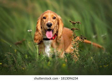 happy red cocker spaniel puppy portrait outdoors in summer
