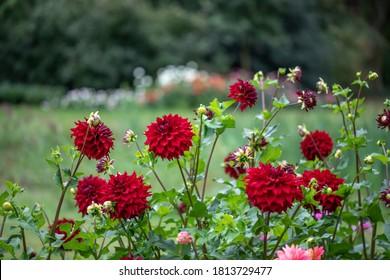 Blumenfeld mit rotem Dahliennamen Spartacus