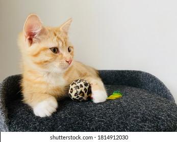 gatito rojo lindo con patas blancas acostado sobre una almohada negra en casa. Pequeña mascota muy hermosa. Retrato de animal en interiores con ojos oscuros. Gato mantenga juguete de bola pequeña brillante. Fondo blanco de pared