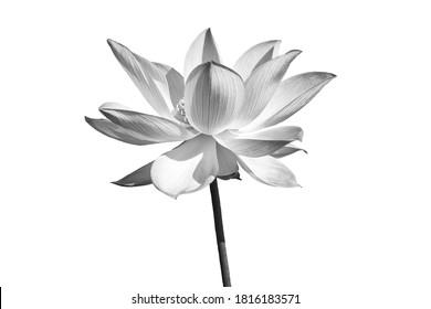 Schwarze weiße Lotusblume lokalisiert auf weißem Hintergrund. Datei mit Beschneidungspfad.