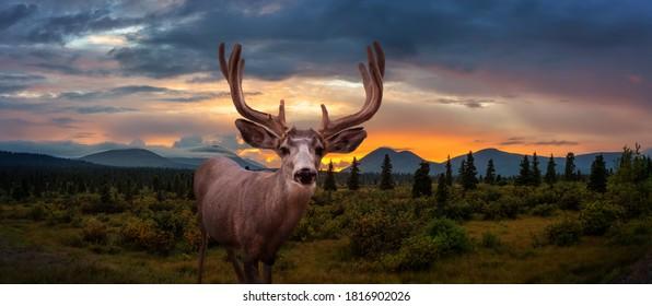 Ein männlicher Hirsch in der kanadischen Natur während der bunten Herbstsaison. Dramatischer Sonnenuntergang Composite. Yukon, Kanada.
