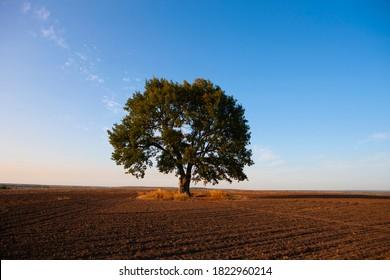 Allein große Eiche in der Mitte eines landwirtschaftlichen Feldes. Herbst. Heilige Eiche nahe der heiligen Quelle des heiligen Sergius von Radonezh, Russland, Region Rjasan, Dorf Krasny Ugol.