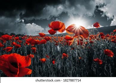rote Mohnblumen auf dem Feld. Hintergrundbilder für Gedenk- oder Waffenstillstandstag am 11. November. dunkle Wolken am Himmel. selektive Farbe