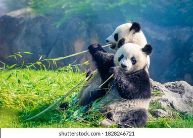 Mutter Panda und ihr Baby Panda kuscheln und essen morgens Bambus in einem Zoo in Frankreich