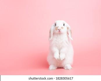 Vista frontal del conejo blanco lindo bebé holland lop de pie sobre fondo rosa. Preciosa acción de conejo joven.