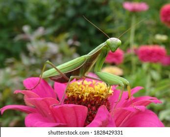 La mantis europea (Mantis religiosa) en flor de zinnia rosa con fondo borroso.
