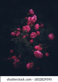 Schöne Rosen auf dunklem Hintergrund. Rosa Damascena oder Damast erhoben sich. Üppiger Busch aus rosa Rosen mit dunkler Vignette. Romantischer Luxushintergrund oder Tapete.Rosa Damascena