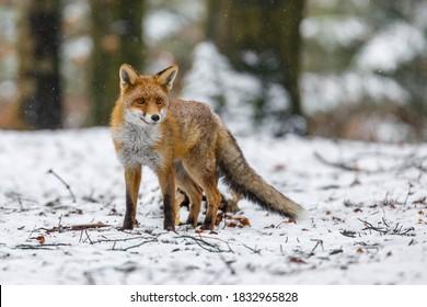冬の赤狐。降雪の冬の森に立っている赤狐、Vulpesvulpesの肖像画。自然の中でふわふわの尾を持つかわいいオレンジ色の毛皮のコートの動物。獲物についての捕食者のフェレット。賢い獣。
