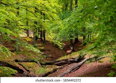 Rotwildkuh (Cervus elaphus) auf einer Lichtung eines Naturschutzgebietes in der Nähe von Arnsberg Sauerland Deutschland an einem Herbsttag in einem alten Buchen- und Eichenwald zur Brunftzeit