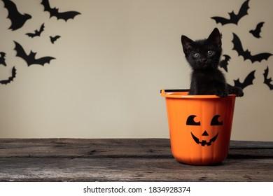 Beschreibbares Halloween-Konzept. Entzückendes schwarzes Kätzchen, das im Halloween-Süßes oder Saures-Eimer sitzt, der in die Kamera auf Palomino-Hintergrund mit schwarzen Fledermäusen schaut.