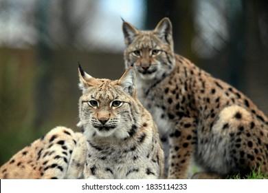 Par de lince (Lynx lynx) descansando juntos.