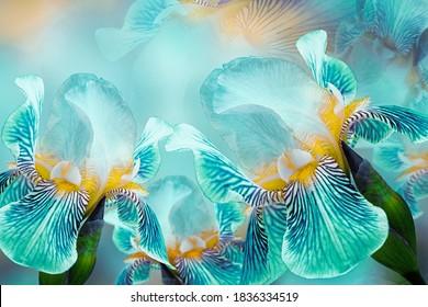 Frühlingsstrauß von Türkisirisblumen auf einem sonnigen Weiß-Türkis-Hintergrund. Nahaufnahme. Grußkarte. Natur.