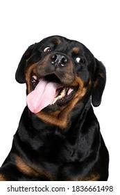 白い背景で隔離の面白い舌を探している大人のロットワイラー犬の肖像画