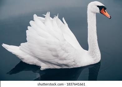 青い湖の白い白鳥、側面図の非常にクローズアップ