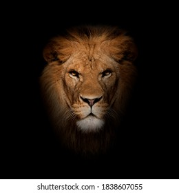 Close-up of lion, Panthera leo in front of black background