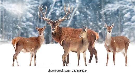 Familie der edlen Hirsche vor dem Hintergrund eines schönen Winterschneewaldes. Künstlerische Winterlandschaft. Weihnachtsbild. Breitformat.