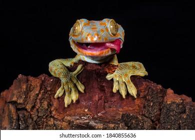 Gekko Gecko, der Tokay Gecko