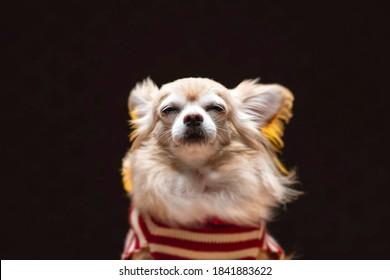 茶色のチワワラップ犬動物の肖像画は、カジュアルに座って暗い背景をリラックスします