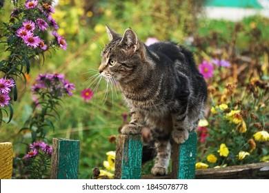El gato trepó una valla de madera y mira los ásteres en flor.